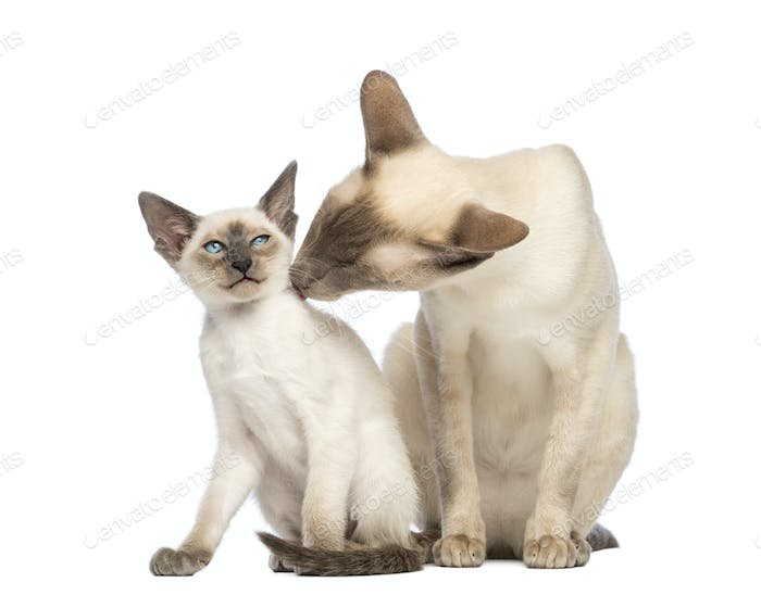 Oriental Shorthair father licking its kitten against white background