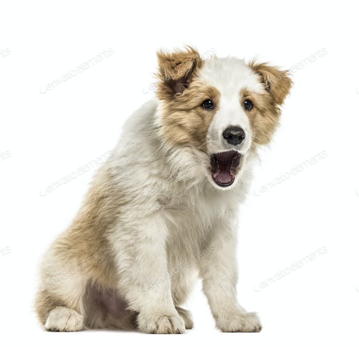 Border collie puppy sitting mouth open, isolated on white