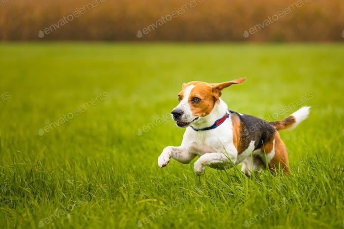 Happy Beagle dog running in autumn in green grass at rural field