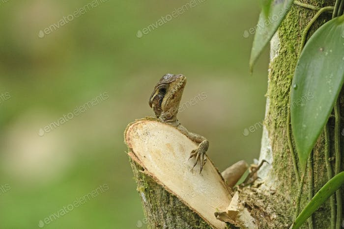 Ameiva Lizard climbing on a tree trunk in Sarapiqui, Costa Rica