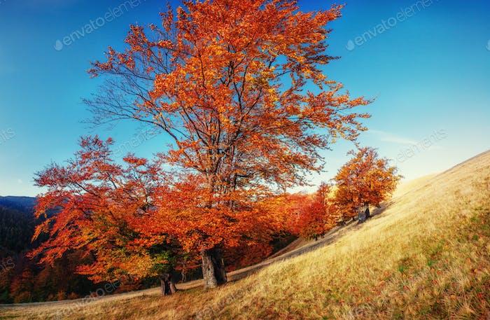 birch forest in sunny afternoon while autumn season. Ukraine. Eu