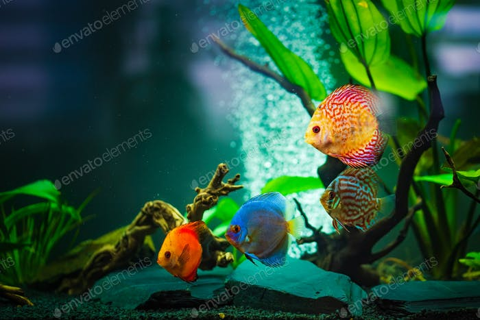 Colorful fish from the spieces Symphysodon discus in aquarium. Closeup, selective focus
