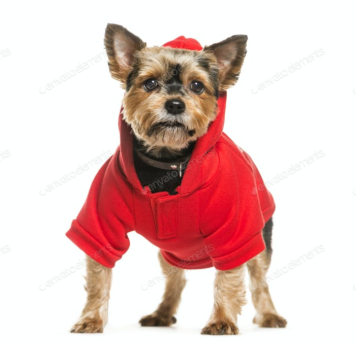 Standing Yorkshire Terrier Dog wearing a dog coat, isolated on white