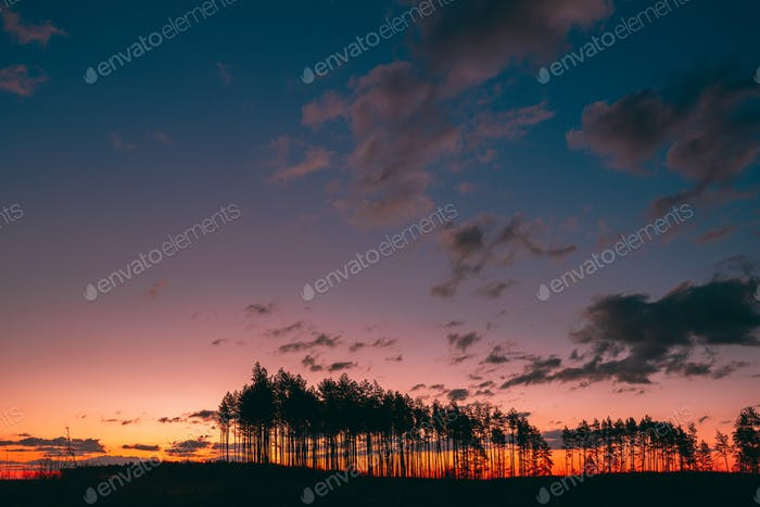 Sunset Sunrise In Pine Forest. Sunny Coniferous Forest. Fir-Tree