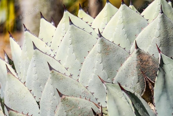 Close up of Agave Palmeri Plant, California