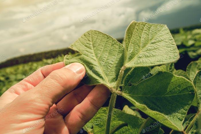 Farmer growing organic soya bean
