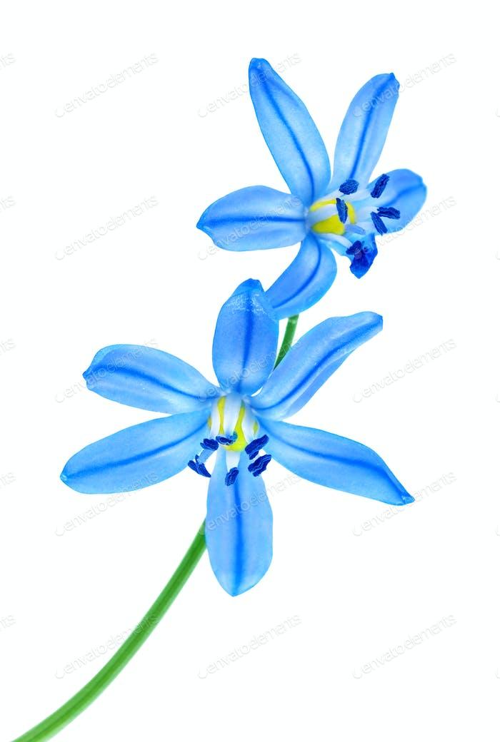 Snowdrop blue