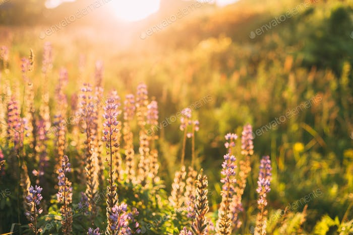 Wild Bloomy Flowers Lupine, Lupinus, Lupin In Sunset Sunrise Sun