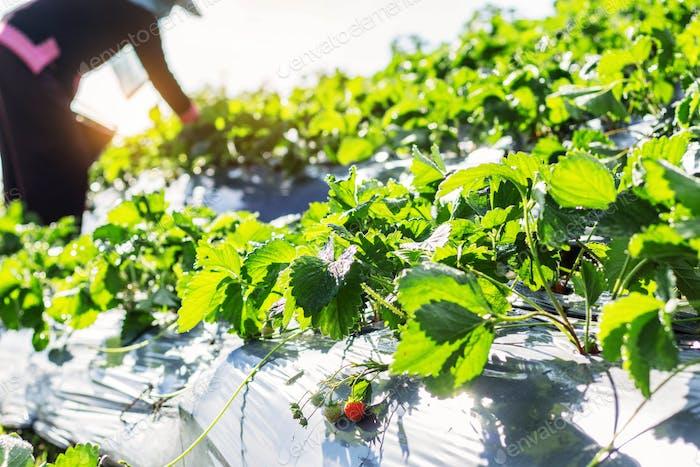 reife Frucht auf den Pflanzen