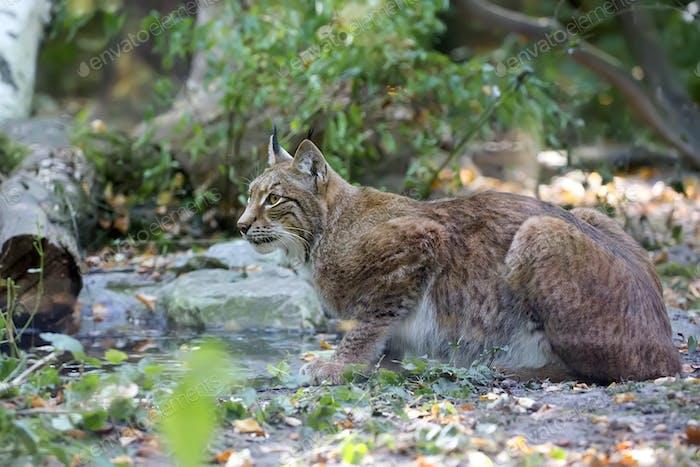 Lynx in the wild