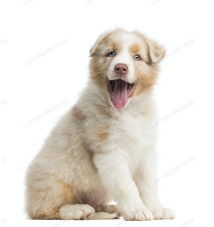 Australian Shepherd puppy, 8 weeks old, sitting, portrait and panting against white background