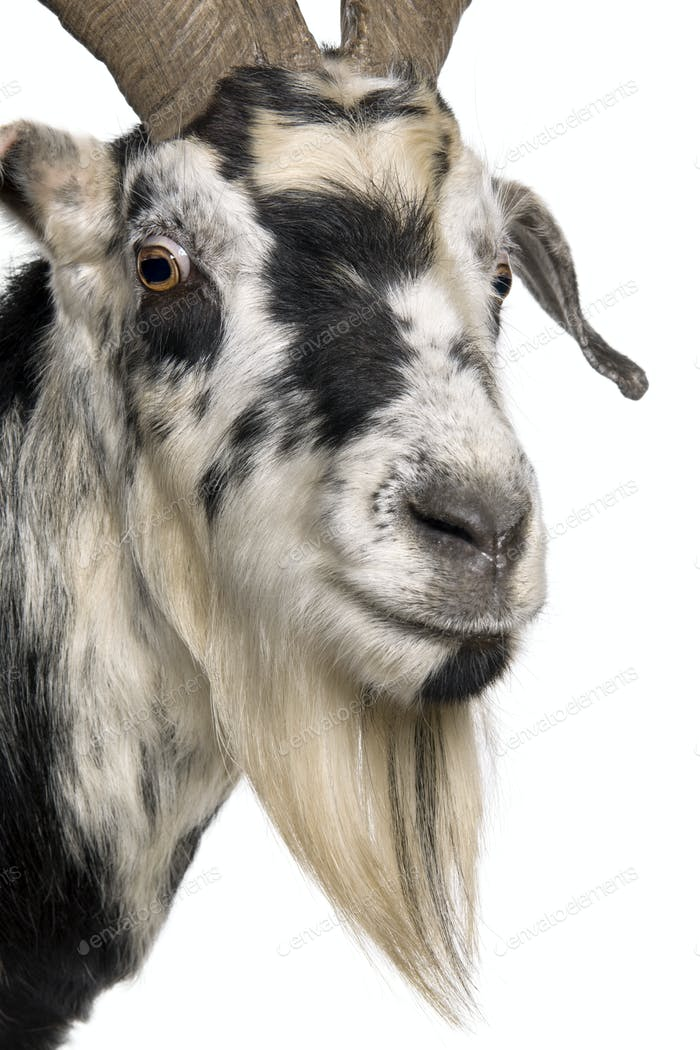 Thumbnail for Close-up headshot of Rove goat, 5 years old, standing in front of white background