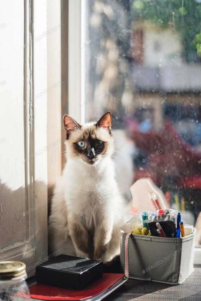 Cute Siamese cat sitting near the window
