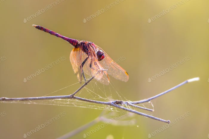 Violet dropwing darter dragonfly perched on a stick