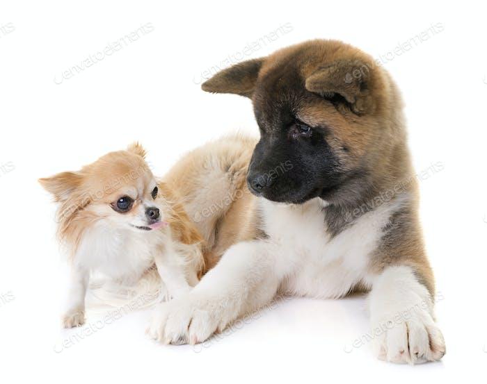 puppy american akita and chihuahua