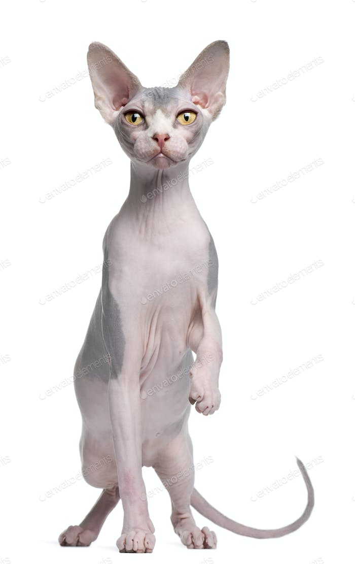 Sphynx kitten, 7 months old, in front of white background