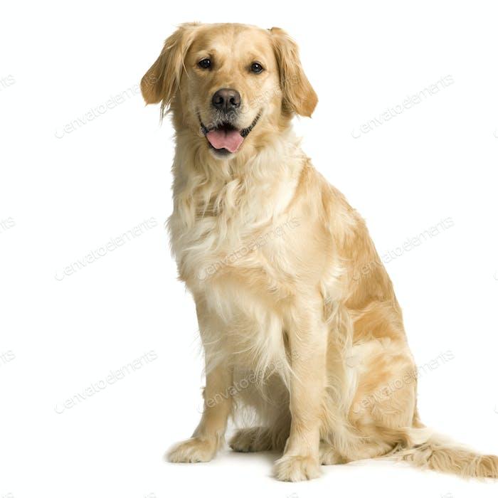 Labrador Retriever Creme (3 Jahre)