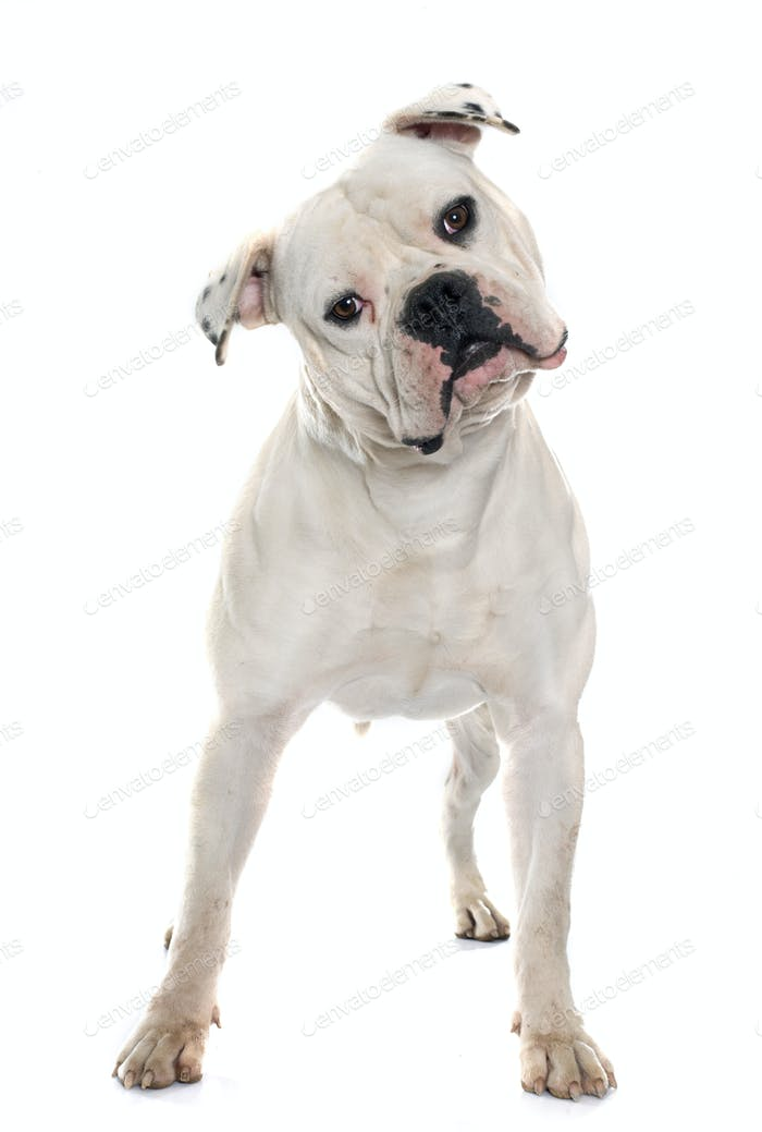 adult american bulldog