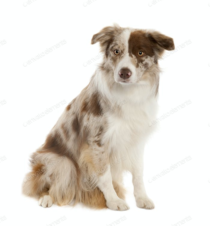 Border Collie (10 months old)