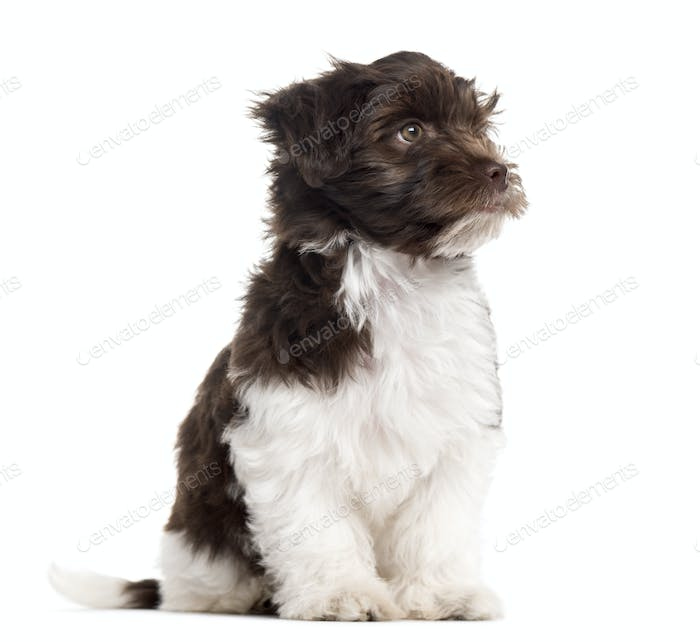 Havanese puppy sitting and looking away, isolated on white