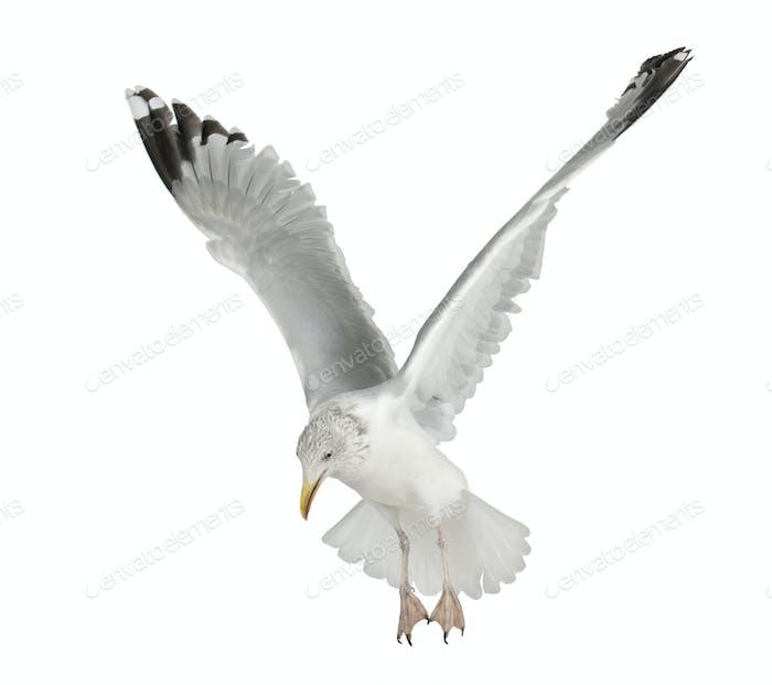 Thumbnail for European Herring Gull, Larus argentatus, 4 years old, flying against white background