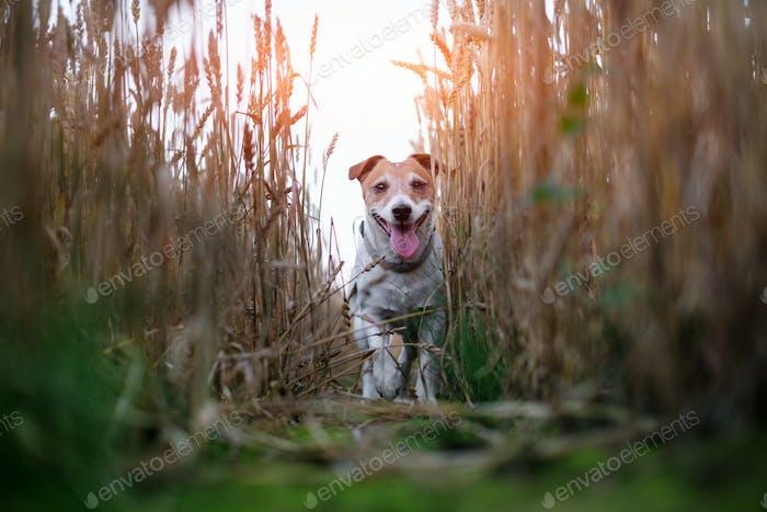 Jack russel terrier on wheat field road