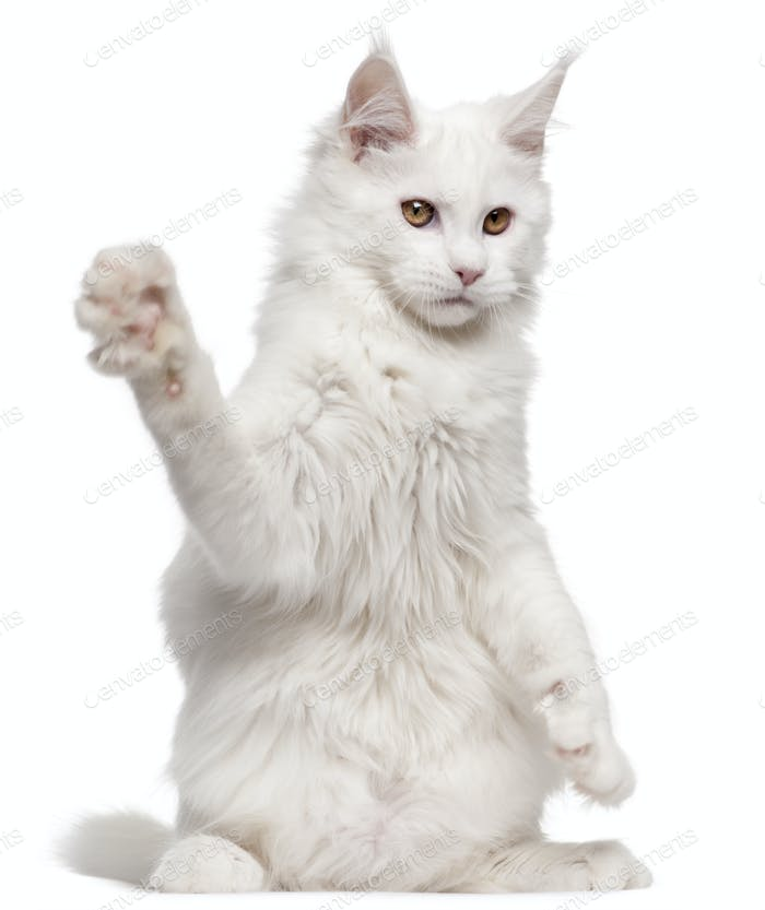 Maine Coon, 5 months old, with paw up in front of white background