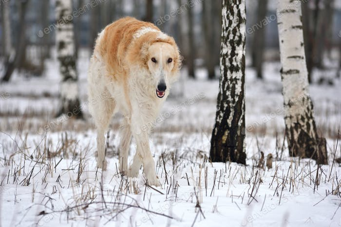 Big russian wolfhound dog