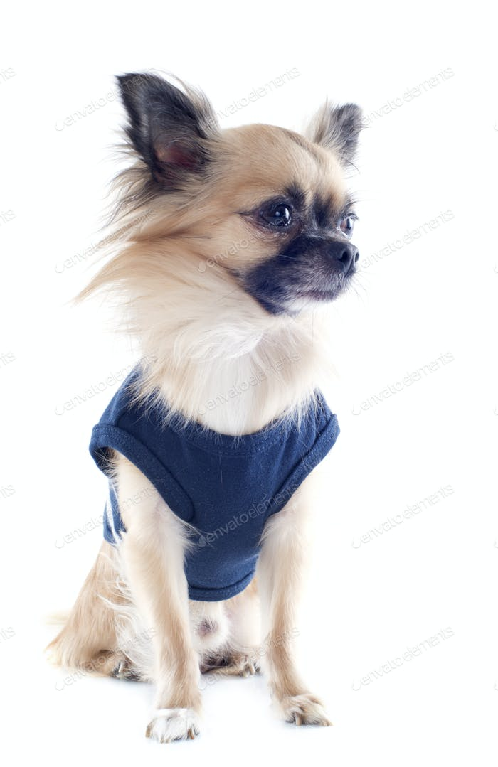 Chihuahua gekleidet