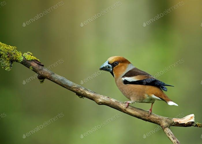 Hawfinch (Coccothraustes coccothraustes) auf einem trockenen Zweig