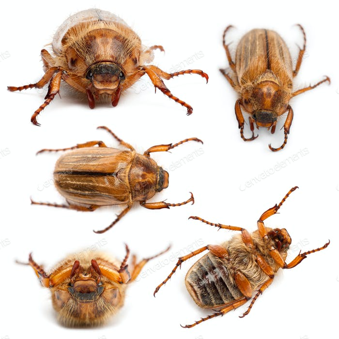 5 summer chafer or European june beetles, Amphimallon solstitiale, in front of white background