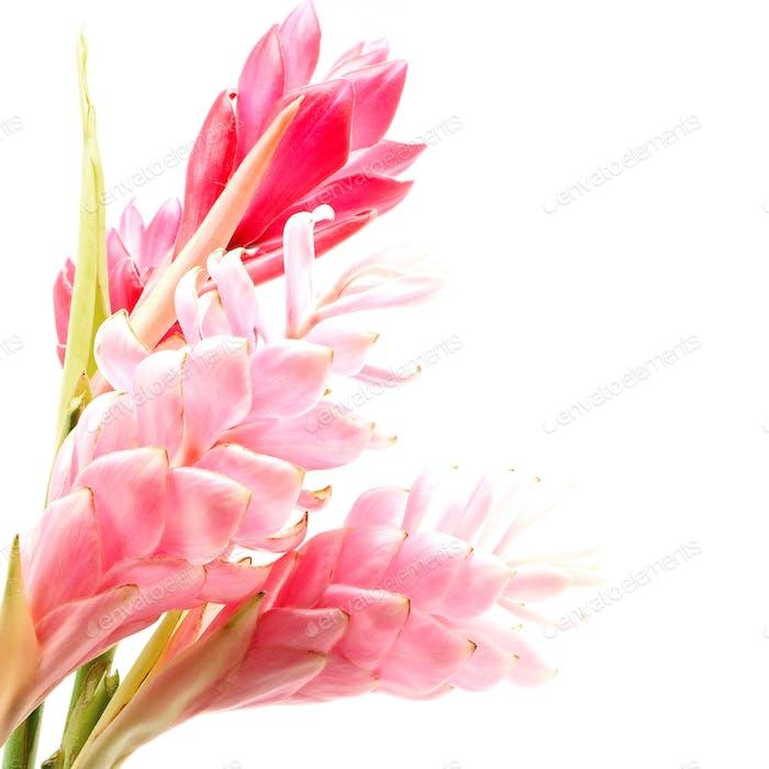 Ingwerblüte