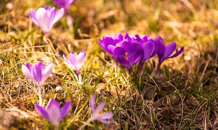 Crocus, plural crocuses or croci is a genus of flowering plants in the iris family. A bunch of
