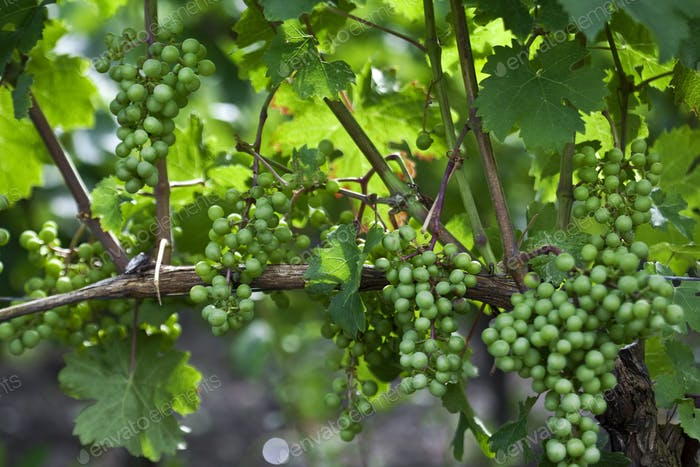 Green grapes in vineyards