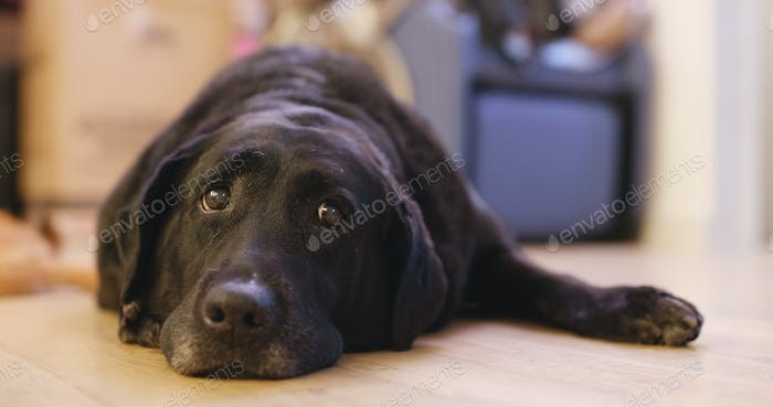 Black Labrador Retriever at home