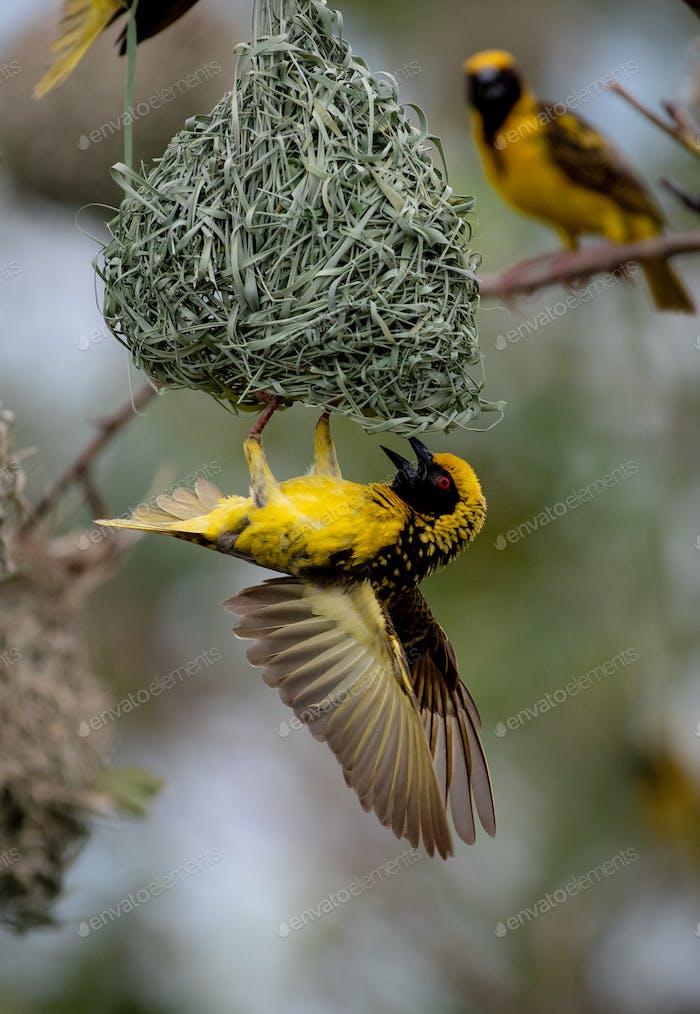 Ein Dorfwebervogel, Ploceus cucullatus, hängt auf dem Kopf an seinem Nest, Flügel ausgebreitet