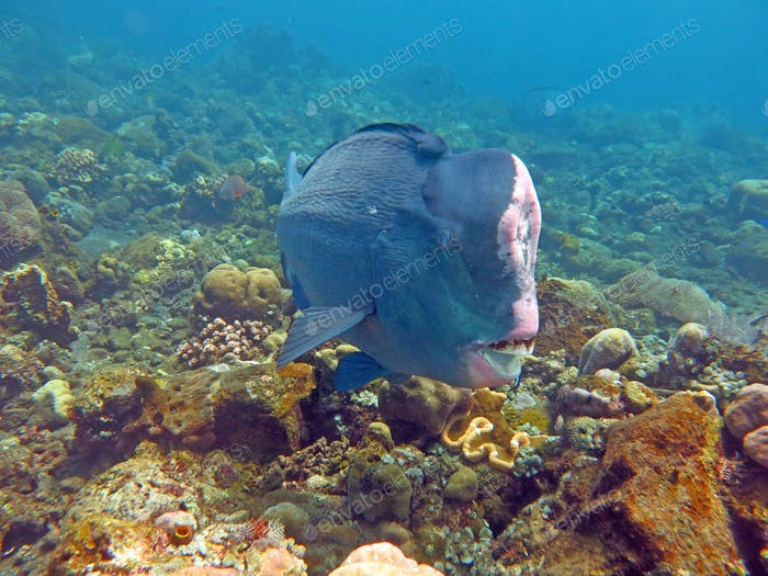 Fish Humphead Parrotfish, Bolbometopon muricatum in Bali.
