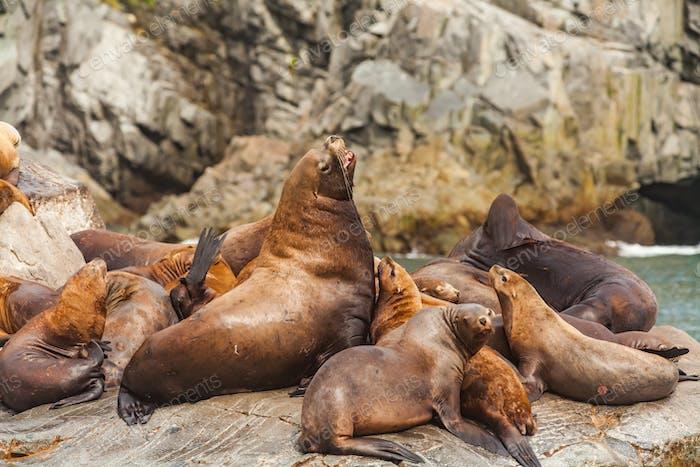Steller's Sea Lions, Kenai Fjords National Park, Alaska.