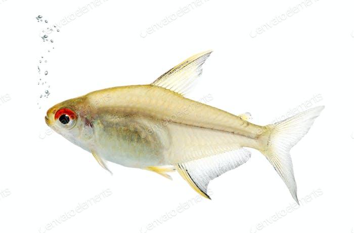 Hyphessobrycon bentosi fish
