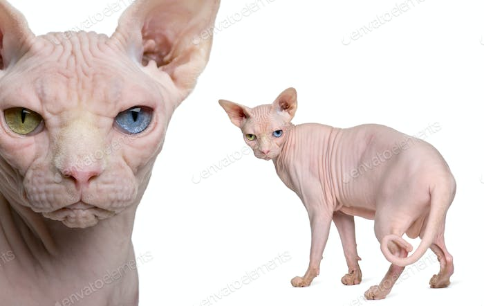 Portrait of Sphynx, 1 year old, in front of white background