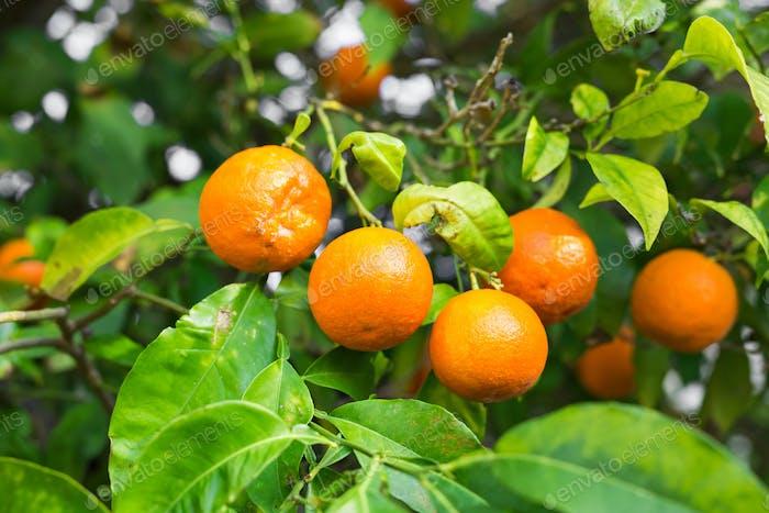 The fruit of the orange tree.