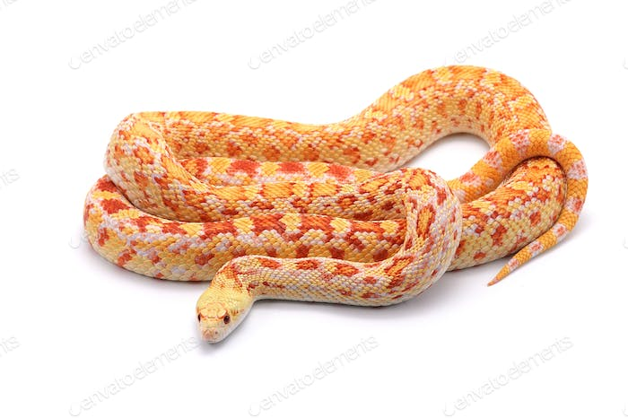 Gopher Snake isolated on white background