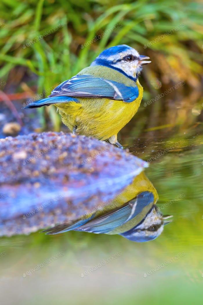 Blue Tit, Forest Pond, Mediterranean Forest, Spain