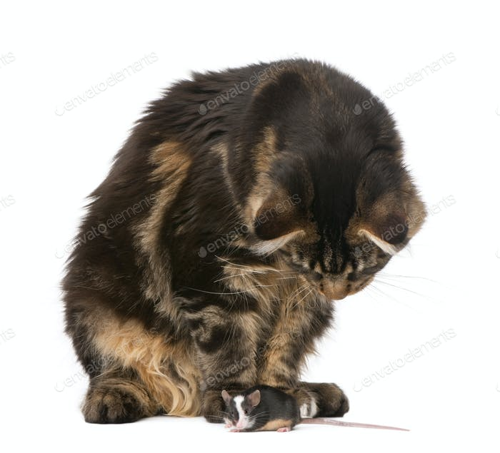 Maine Coon looking at mouse, 7 months old, in front of white background