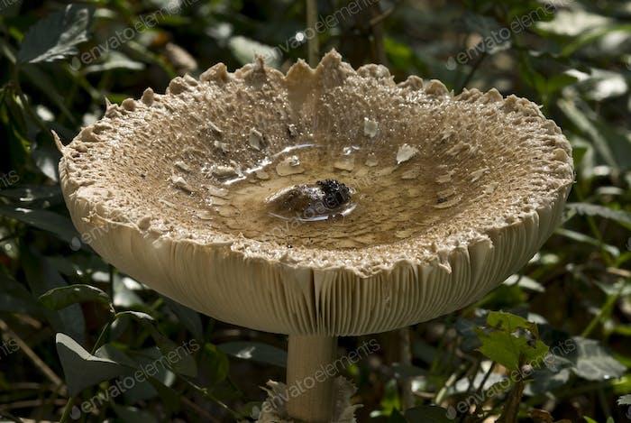 Gorra Mushroom
