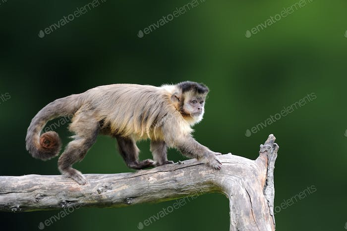 Capuchin, monkey sitting on the tree branch in the dark tropic f