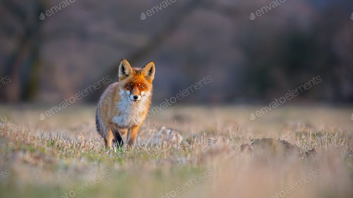 Red fox, vulpes vulpes, on a meadow at sunset