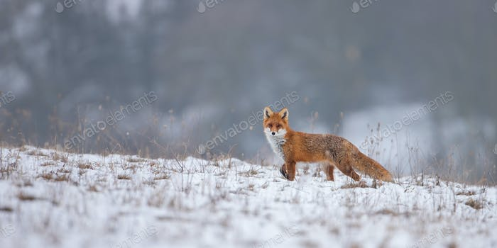 Red fox, vulpes vulpes, on snow in winter