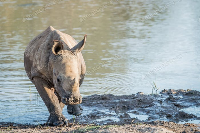 Small White rhino calf by the water.