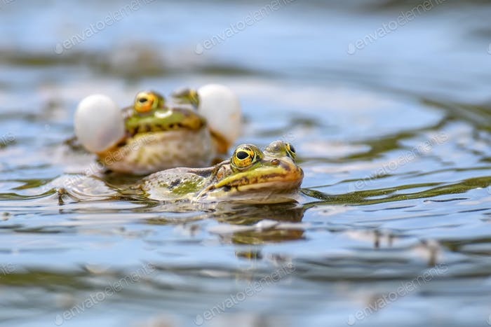 Common frogs pairing in a pond in spring period